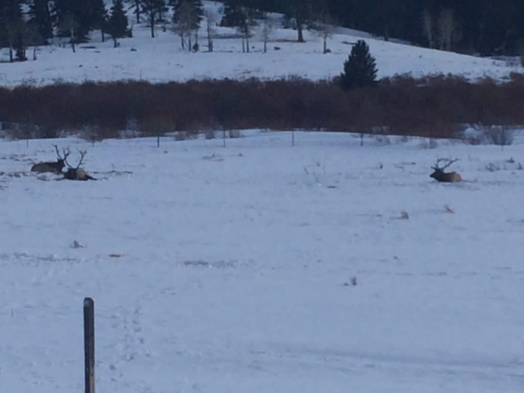 Elk in the snow. Snowshoeing in Rocky Mountain National Park.